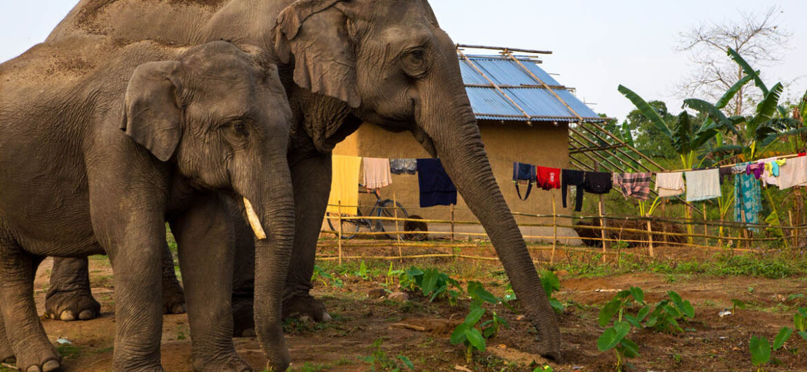 Surging Human-Elephant Conflicts in Sri Lanka